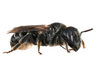 Blue mason bee female Osmia caerulescens
